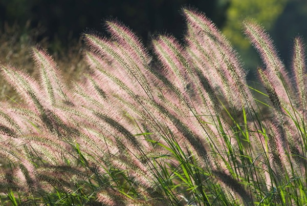 Garden-Center-Images/Ornamental-Grass-Sun2.jpg