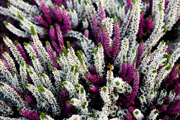 Garden-Center-Images/Shrubs-Heather2.jpg