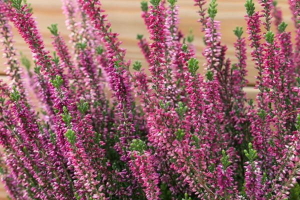 Garden-Center-Images/Shrubs-Heather3.jpg